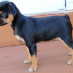 Miniature Rottweiler Puppies-Features & Characteristics
