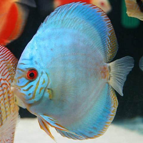 cobalt-blue-discus
