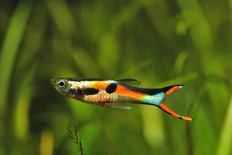 Add life and sparkle to your aquarium with the top 10 most Livebearer aquarium fish