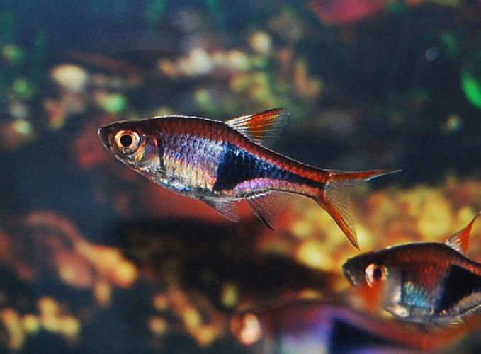 Harlequin Rasbora makes this list in preference to tetra that has been ...