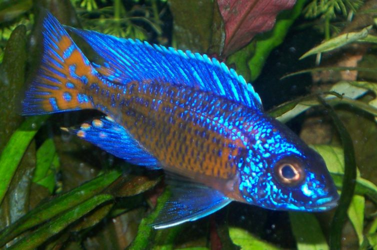 Freshwater aquarium fish guide - With So Many Distinct Features It Should Not Come As A Wonder That So Many Cichlid Species Make The Top 10 List Of Freshwater Aquarium Fish
