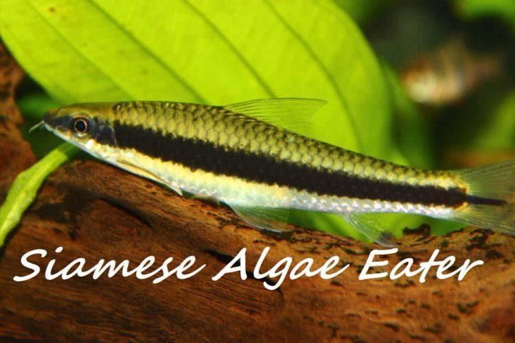 siamese-algae-eater