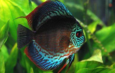discus_fish_turquoise
