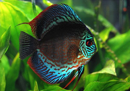 Add life and sparkle to your aquarium with the top 10 most for Colorful freshwater aquarium fish