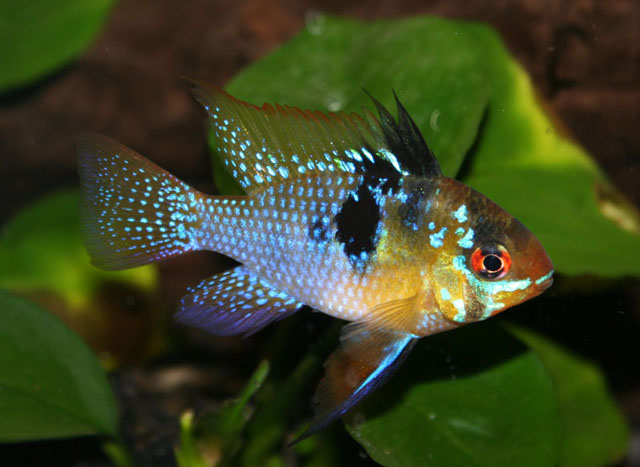 Top 10 most colorful freshwater fish