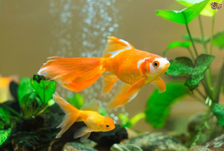 Freshwater aquarium odd fish - Goldfish Why Is My Goldfish Bullying