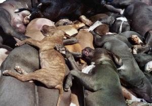 Breed Specific Legislation-Hitler for Dogs