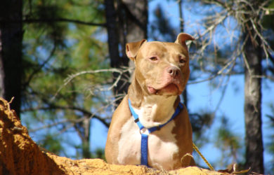amarican pit bull teriers