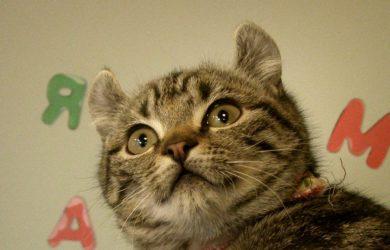 amarican curl cat kitten