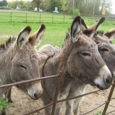 donkeys pet