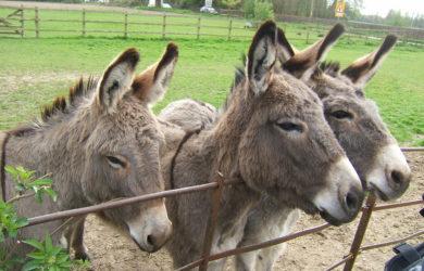 donkeys pet
