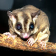 sugar gliders exotic