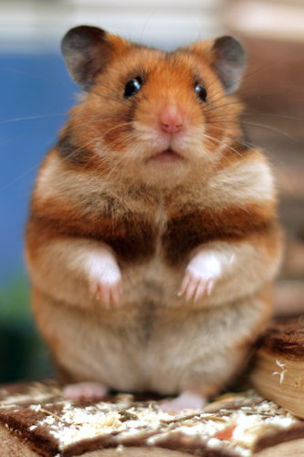 Usual Pets: Hamsters