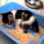 Litter Box Training Problems in Cats