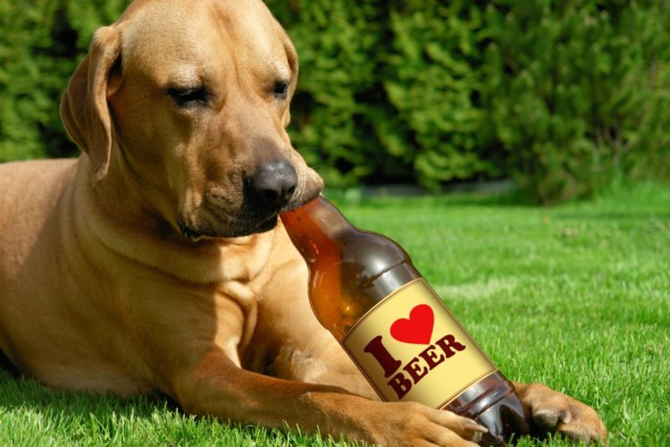 Tosa inu cute puppy lying on the grass and drinking beer