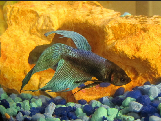 Everything You Wanted to Know About Betta Fish But Were Afraid to Ask