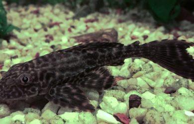 bigstock-algae-sucker-fish