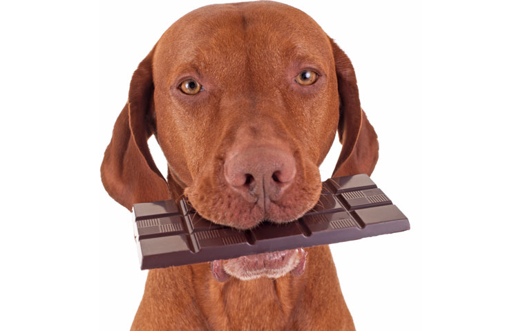 chocolate-for-dogs