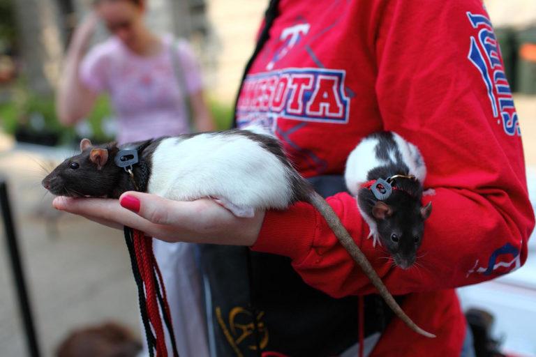 Exotic and Unusual Pets: Rats