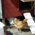 how to build chicken cop?