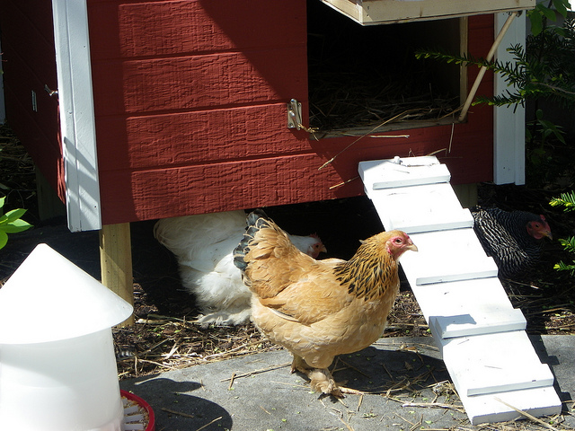 Build an Easy Hen House and Chicken Coop
