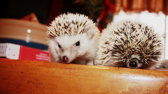 Exotic and Unusual Pets: Hedgehogs