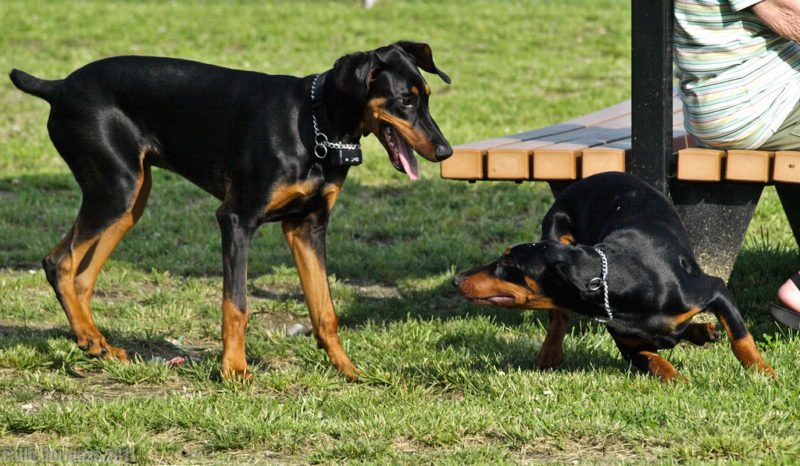 The Doberman is almost 28 inches tall