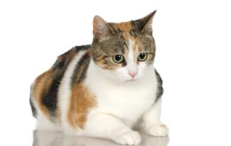 How Much Is a Male Calico Cat Worth? Some Clues May Tell You That