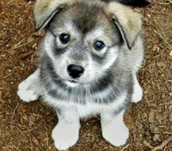 Best Food For Wolf Hybrid Puppy