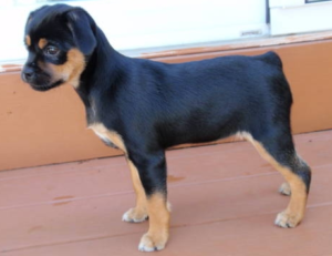 rottweiler puppies features