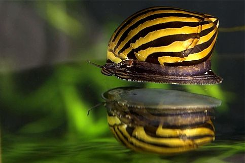 nerite-snails
