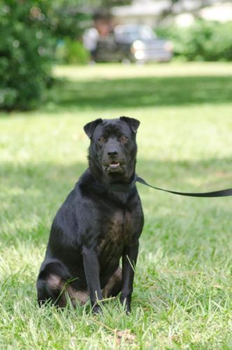 grooming-for-shar-pei-lab-mix