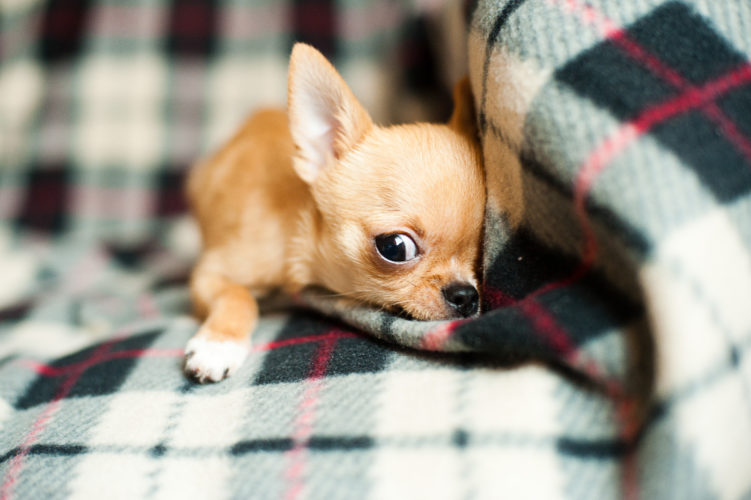 Chihuahua puppy http://barnimages.com/