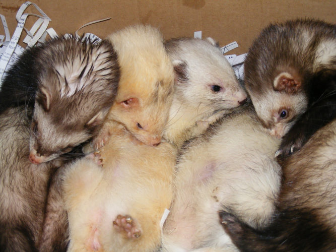 Exotic and Unusual Pets: Ferrets