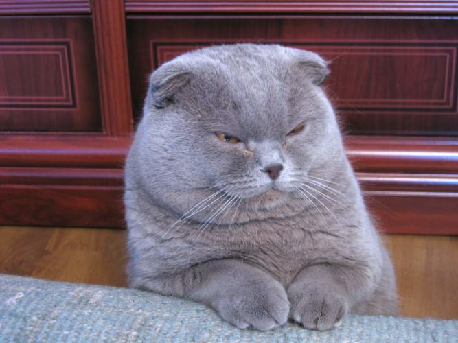 lilac_scottish_fold