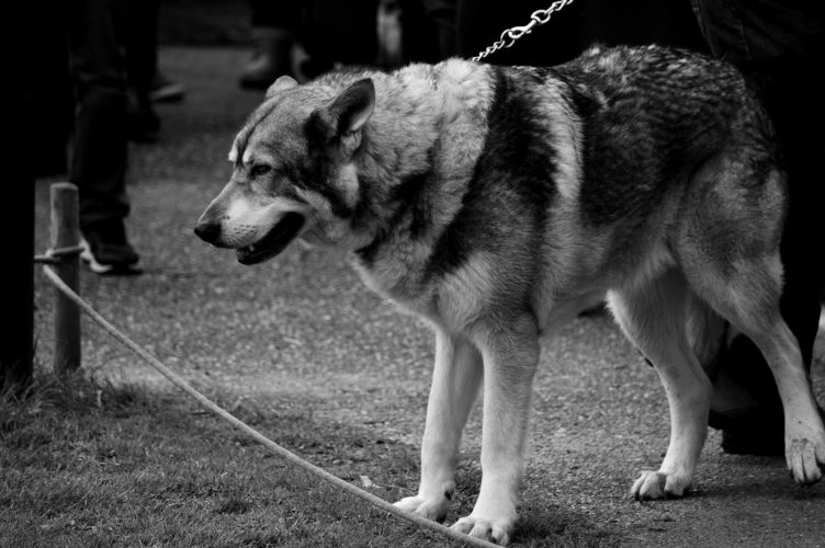 Should You Add a Timber Wolf Dog for family