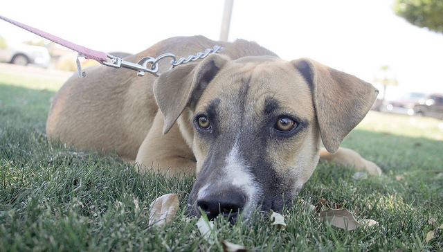 Boxer Shepherd mix – Your All Weather Companion