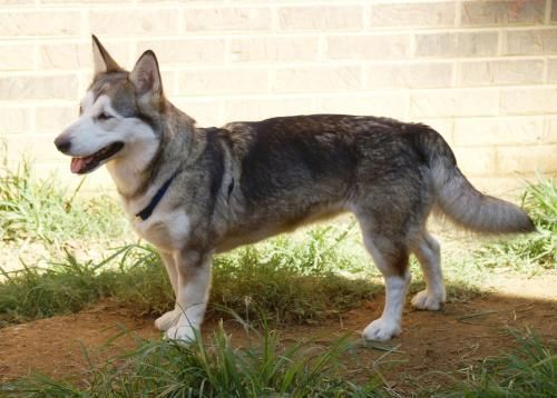 Dachshund Husky Mix And Their Characteristics