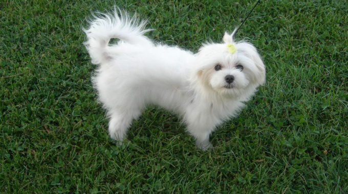 Maltese Yorkie Mix – Adorable and Friendly Hybrid Dog