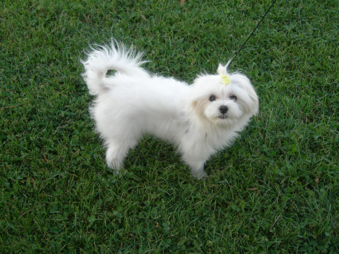 maltese mix with yorkie maltese yorkie mix adorable and friendly hybrid dog 7195