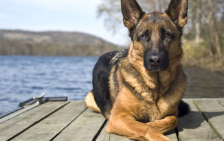 What Is The Average Lifespan of a German Shepherd?