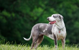 Catahoula Lab Mix – A Great Dog Breed For Families