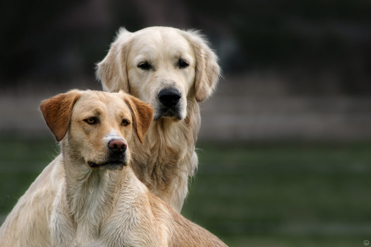 Short Haired Golden Retriever And The Reasons Behind