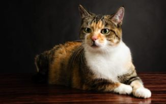 What Is A Torbie Cat? How To Distinguish Between A Torbie And A Tortie?