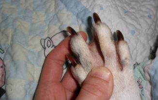Do Pitbulls Have Webbed Feet?