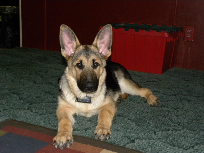 Vet Checks Before Breeding Dogs