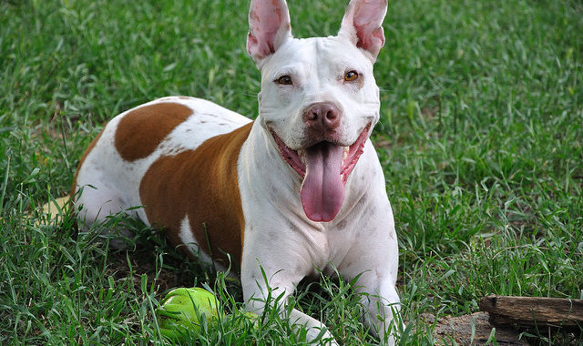 Awesome Ideas For Pitbull Names And How To Choose The Best One