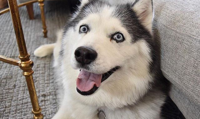 Corgi Husky Mix – The Irresistible Little Cuties For Active People