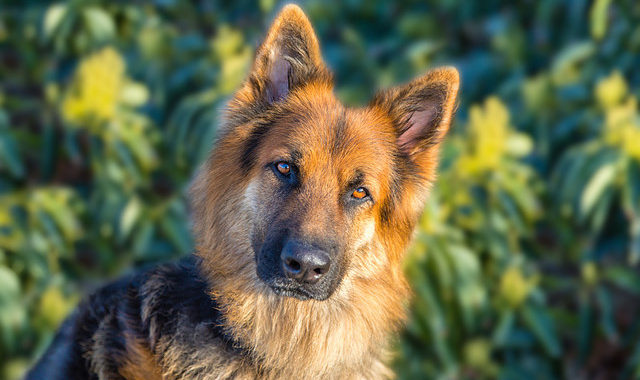 German Shepherd Husky Mix – When The Two Big Bosses Are Combined!