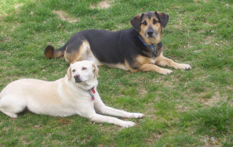 German Shepherd Lab Mix – A Charming Cross For Active Families
